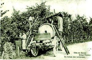 Vignes en crosse, une pratique ancestrale, connue des grecques, jusqu'à la renaissance dans de nombreuses régions